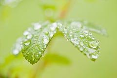 Lames de rose de vert avec des gouttes de pluie Photo stock