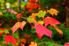 Lames de rouge d'automne image stock