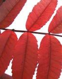 Lames de rouge d'automne - d'isolement Photo stock