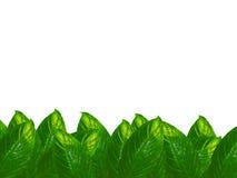 Lames de Spathiphyllum Image stock