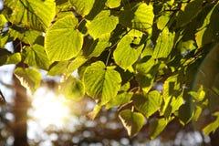 Lames de tilleul dans la forêt, éclairée à contre-jour Images stock