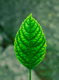 lames de vert Photographie stock