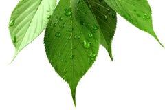 Lames de vert avec des gouttelettes d'eau sur le blanc Photos libres de droits