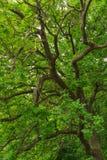 Lames de vert d'arbre de chêne Image stock