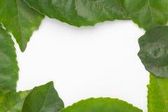 Lames de vert d'isolement sur le fond blanc Image stock