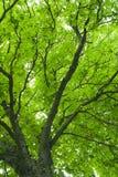 Lames de vert de branchements d'arbre Photographie stock libre de droits