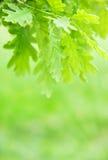 Lames de vert de châtaigne Image libre de droits