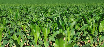Lames de vert de maïs dans un domaine Photo libre de droits