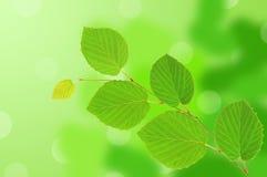 Lames de vert de tilleul au-dessus de nature Image stock