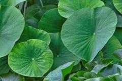 Lames de vert du lotus Images stock