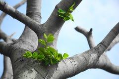 Lames de vert s'élevant d'un vieil arbre Photographie stock libre de droits
