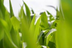 Lames de vert sur des centrales de maïs Images libres de droits
