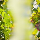 Lames de vigne. Photos libres de droits