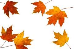 Lames dispersées d'érable d'automne sur le fond blanc Images libres de droits