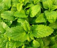 Lames en bon ?tat vertes fra?ches Fond avec les feuilles en bon ?tat photographie stock libre de droits