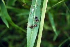 Lames et fourmis Photos libres de droits