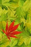 Lames fraîches d'arbre avec l'érable rouge Image stock