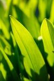 Lames fraîches de vert de source Fond d'herbe Photos stock