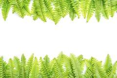 Lames fraîches de vert sur le fond blanc Image libre de droits