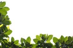 Lames fraîches de vert sur le fond blanc Photographie stock