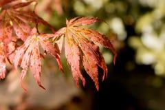 Lames japonaises d'érable rouge Couleur d'automne d'automne Images libres de droits