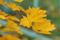 Lames jaunes d'érable Photo stock