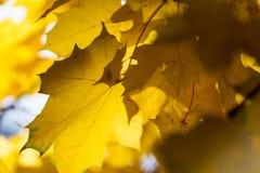 Lames jaunes d'érable photographie stock libre de droits