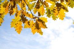 Lames jaunes d'érable d'automne Photographie stock