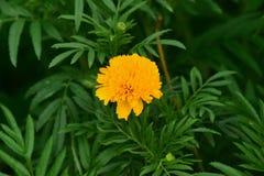 Lames jaunes de fleur et de vert Images stock