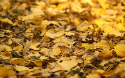 Lames jaunes de ginkgo Image libre de droits