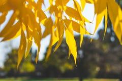 Lames jaunes et d'orange Fond d'automne Fond de chute Images stock