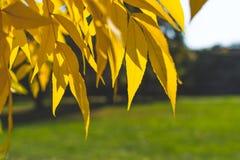 Lames jaunes et d'orange Fond d'automne Fond de chute Photographie stock