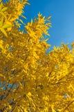 Lames jaunes et d'orange Fond d'automne Fond de chute Photos libres de droits