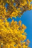 Lames jaunes et d'orange Fond d'automne Fond de chute Photo libre de droits