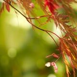 Lames rouges d'érable japonais de cutleaf Photos libres de droits