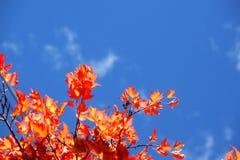 Lames rouges d'automne Photo stock