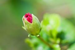 Lames rouges de cheminée de vert de bourgeon floral de ketmie   Photographie stock