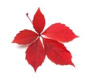Lames rouges de plante grimpante de Virginie d'automne Photographie stock libre de droits