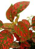 Lames rouges de plante verte Photos libres de droits