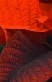 Lames rouges de poinsettia Photographie stock libre de droits