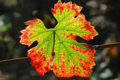 Lames rouges de raisin d'automne Photographie stock libre de droits