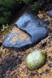 Lames tombées de sapin sur la pierre humide. Image libre de droits