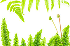 Lames vert clair sensibles de fougère Photos stock