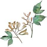 Lames vertes d'érable Feuillage floral de jardin botanique d'usine de feuille Élément d'isolement d'illustration Illustration de Vecteur
