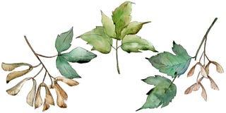 Lames vertes d'érable Feuillage floral de jardin botanique d'usine de feuille Élément d'isolement d'illustration Illustration Stock