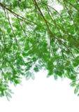 Lames vertes d'isolement sur le blanc Image stock