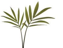 Lames vertes de bambou d'isolement sur le blanc. Photo stock