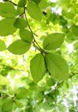 Lames vertes de hêtre Image stock