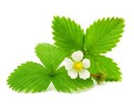 Lames vertes de la fraise avec la fleur images libres de droits