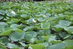 Lames vertes de lotus Images libres de droits
